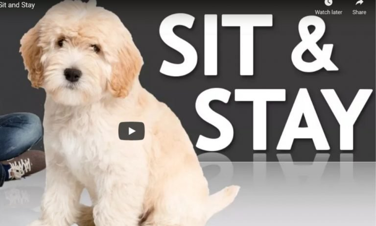 How To Train Your Puppy To Sit And Stay Effectively